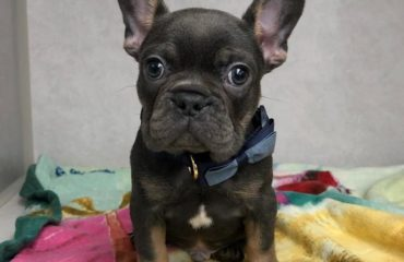 Adorable French bulldog. His first visit to Broad Ripple Animal Clinic
